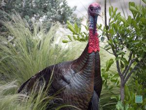 Turkey, Gobler, male