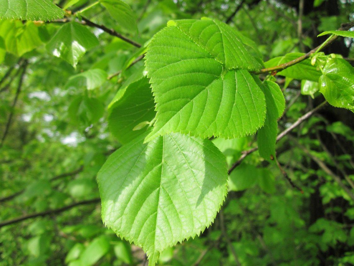 Ulmus Glabra tree leaves