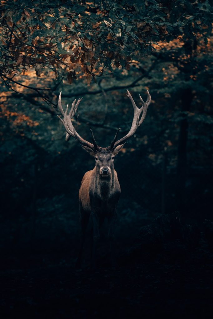 beautiful photo of a stag
